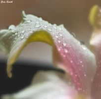 Beauty in a Petal by engridearty