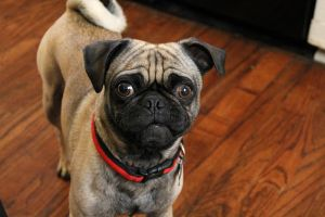 The Beauty Of The Pug by Keratinocyte