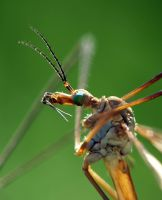 Mosquito by mateuszskibicki1