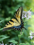 Swallowtail on Monarda - Stock by shadoj