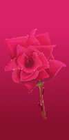 A Rose by aminoan