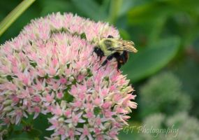 Bumble Bee by Grace10Hove