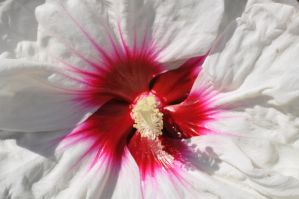 White and Pink Flower Up-Close by ladybug95