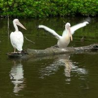 Among pelicans 2 by steppeland