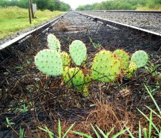 Cacti on Tracks by PixaPixie