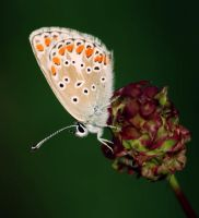 .:butterfly two:. by Nigrita