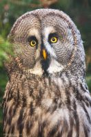 Great Grey Owl by DominikaAniola