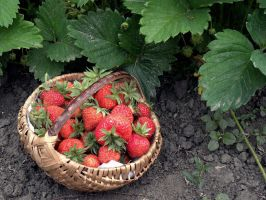 First culture of strawberries by FeeAurora