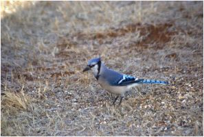 Skinny Bluejay by SuicideBySafetyPin