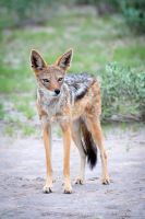 Jackal Portrait by DeniseSoden