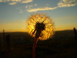 flower in sunset 1 by anatre