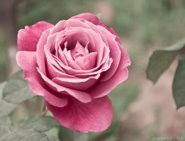 a rose for u by Cochalita