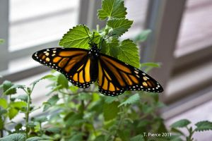 Monarch by thriftyredhead