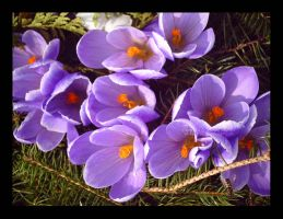 Purple Crocus Bunch I by Jenna-Rose