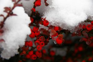 Red Berries Of Winter by AliceJaimie