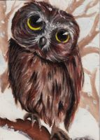 Northern saw-whet owl by Chiilla