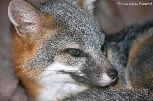 Young Grey Fox by pompilot