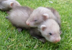 Ferret Babies on the Grass 7 by arlee