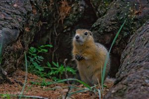 A gopher by erzsebet-beast