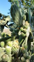 KRETA - Opuntia after blooming by cactusmumkate