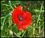 lovely potrait of a poppy by y-Fairy