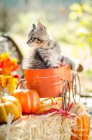 Fall Kitten 5 by KayeShepherd