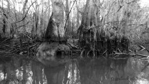 Cypress Roots by PaddleGallery
