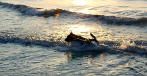 Scottish Terrier Running in the Surf by winterface