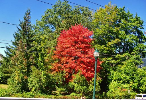 my favorite fall tree by notmor