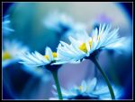 Blue Daisies by kanes