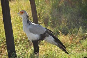 Secretary Bird by NagWolf