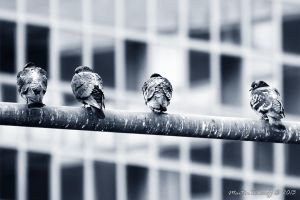 Urban Doves by FeverPictures