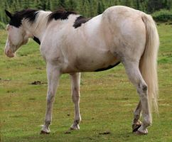 Tobiano Horse 02 by Eltear-Stock