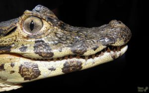 The magnificent baby aligator by Tomer-DA