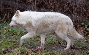 White Wolf Stock 14 by HOTNStock