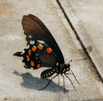 Butterfly stock 7 by caliconcept-stock