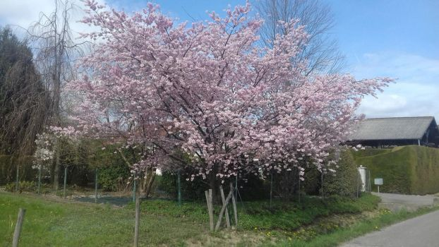Pink tree by ColrinP