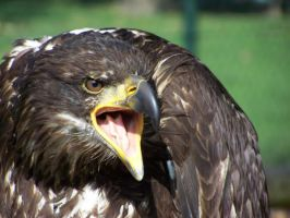 Bald eagle by LidiaL