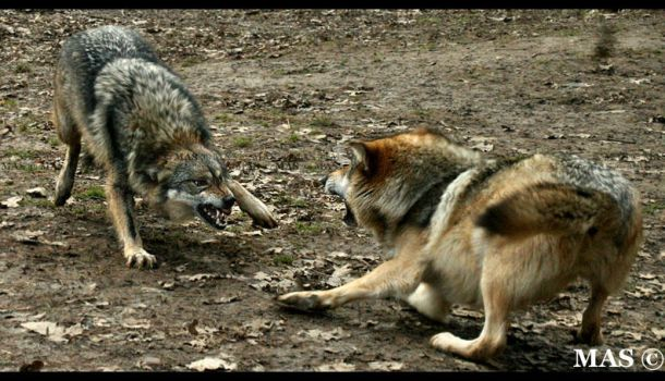 Mexican Wolves_2415 by MASOCHO