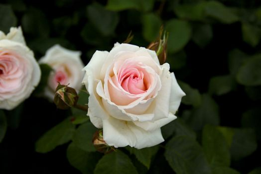White Rose by EloieeStock