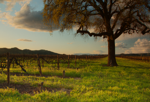 Sunset Over a Napa Vineyard by Camel51