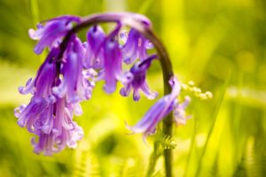 Bending Bluebells by salman-khan