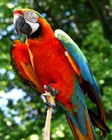 Parrot :Stock: by PixlPhantasy