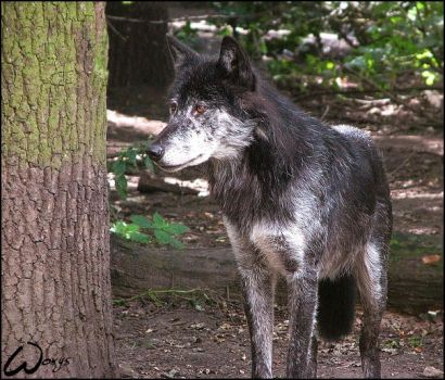Black timber wolf, no Blackie. by woxys