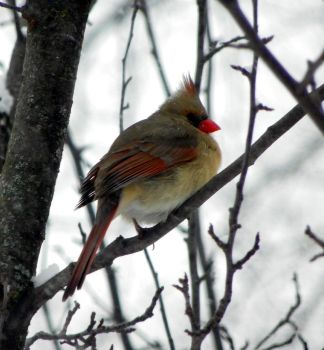 Female Northern Cardinal 32 by kbcollins