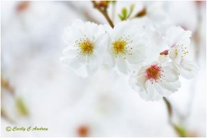 Prunus Persica Flower by CecilyAndreuArtwork