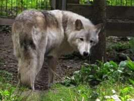 Timber Wolf Stock 7 by HOTNStock