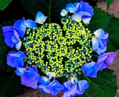 I Love Hydrangea by Meiprime31