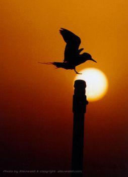 Sunset Bird by Alsuwaidi