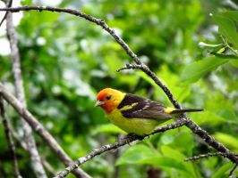 Western Tanager by davecbend